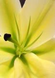 Lirio amarillo Fotos de archivo