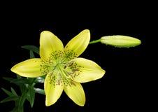 Lirio amarillo Imagen de archivo libre de regalías