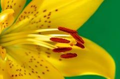 Lirio amarillo Imagen de archivo
