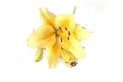Lirio amarillo Fotos de archivo libres de regalías