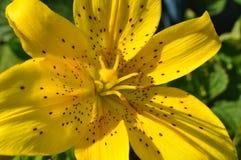 Lirio amarillo brillante hermoso de Extrodinarly Imagen de archivo