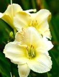 Lirio amarillo claro Imagen de archivo libre de regalías