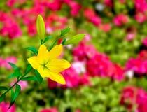 Lirio amarillo colorido Foto de archivo libre de regalías