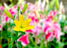 Lirio amarillo colorido Imagenes de archivo