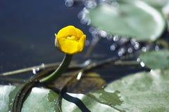 Lirio amarillo de la flor en un fondo verde imagenes de archivo