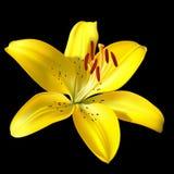 Lirio amarillo del vector en negro Imagen de archivo