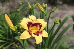Lirio amarillo en el jardín fotografía de archivo libre de regalías