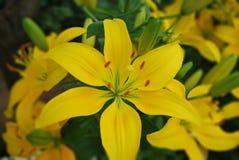 Lirio amarillo en el jardín Imágenes de archivo libres de regalías
