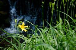 Lirio amarillo hermoso Imágenes de archivo libres de regalías