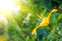 Lirio amarillo hermoso y luz del sol Foto de archivo