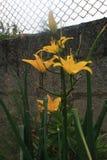 Lirio amarillo stock fotografie