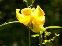 Lirio amarillo que brilla intensamente Imagen de archivo