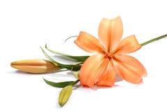 Lirio anaranjado Fotos de archivo libres de regalías