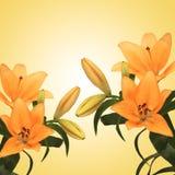 Lirio anaranjado Imagen de archivo libre de regalías