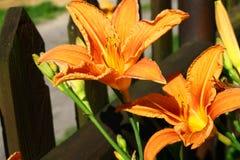 Lirio anaranjado Foto de archivo libre de regalías