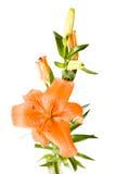 Lirio anaranjado Fotografía de archivo libre de regalías