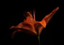 Lirio anaranjado en negro Imagen de archivo libre de regalías