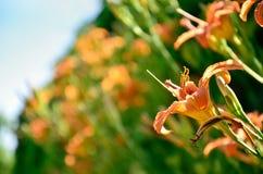 Lirio anaranjado entre las flores Fotos de archivo