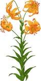 Lirio anaranjado. Vector Imagen de archivo libre de regalías