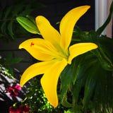 Lirio artístico amarillo Imagen de archivo libre de regalías