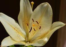 Lirio asiático de la vainilla en la floración Foto de archivo libre de regalías