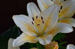 Lirio asiático de la vainilla en la floración Fotografía de archivo