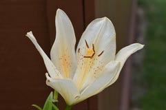 Lirio asiático de la vainilla en la floración Fotografía de archivo libre de regalías