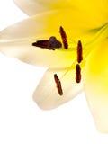 Lirio (auratum del Lilium) Fotografía de archivo