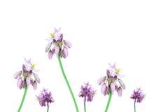 Lirio australiano Sowerbaea de la vainilla de las flores salvajes Imagen de archivo libre de regalías