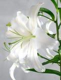 Lirio blanco Imagen de archivo