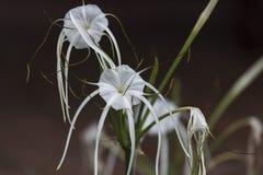 Lirio blanco de la araña en las cataratas Murchison, Uganda Fotografía de archivo libre de regalías