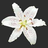 Lirio blanco de la flor del real Fotografía de archivo libre de regalías