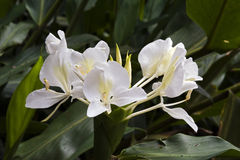 Lirio blanco del jengibre, una flor intensa del perfume Imagenes de archivo