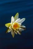 Lirio blanco en un agua azul Fotos de archivo libres de regalías