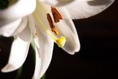 Lirio blanco por completo del polen anaranjado Imágenes de archivo libres de regalías