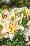 Lirio blanco y amarillo en jardín Foto de archivo libre de regalías