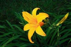 Lirio con forte colore giallo Fotografie Stock
