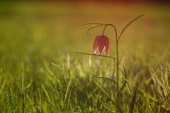 Lirio a cuadros en primavera Imagen de archivo