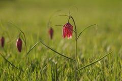 Lirio a cuadros en primavera Fotos de archivo libres de regalías