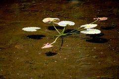 Lirio de agua Foto de archivo libre de regalías