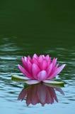 Lirio de agua Imagen de archivo libre de regalías