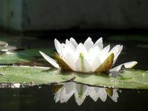 Lirio de agua Imagen de archivo