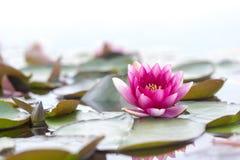Lirio de agua abierta fresco rosado, Nymphaeaceae, en el lago imágenes de archivo libres de regalías