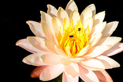 Lirio de agua aislado en negro Abeja que chupa loto del polen del néctar Imagen de archivo libre de regalías