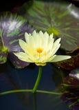 Lirio de agua amarilla. Fotografía de archivo libre de regalías