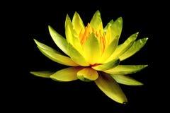 Lirio de agua amarilla Imagenes de archivo