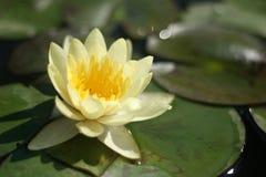 Lirio de agua amarilla Foto de archivo