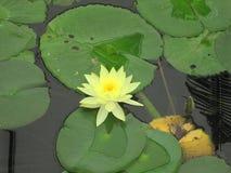 Lirio de agua amarilla Foto de archivo libre de regalías