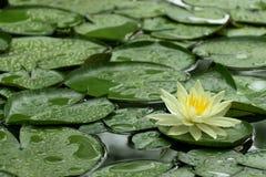 Lirio de agua amarilla después de la lluvia Imagen de archivo