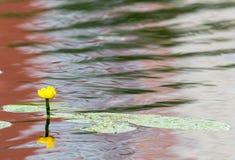 Lirio de agua amarilla en el río Imagen de archivo libre de regalías